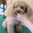"""お世話になります。 愛犬美容師会はすべて予約制になっております。 どうぞ早めのご予約をお願いいたします。 お気軽にどうぞ  写真はAさまの ベルちゃん  これぐらいのサイズがかわいいのです。 優し... <a href=""""https://fukuyamadog.com/?p=2009"""">続きを読む</a>"""