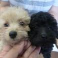 トリミング教室にて 生徒のためのカット犬を募集します。お待たせいたしました。 お客様から、まだかまだかとお問い合わせ頂き有難い限りでございます。 プードル、マルチーズ小型犬は 3,000円 中型犬は      &nbsp […]