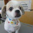 愛犬美容師会では10才以上のワンちゃんも美容できます。 お気軽に お電話ください。084-925-5298 写真は10才 Eさまのチルちゃん かわいい~