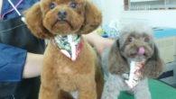 トリミング教室での 割安カット犬も12月中旬までです!! 空きが少なくなっています。ご予約はお早目にお願いいたします!! 写真はF様 ノアちゃん ブラウニーちゃん(小さい方) とてもかわいい!!!!!!!! […]