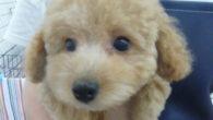 """トリミング教室のカット犬             ... <a href=""""https://fukuyamadog.com/?p=2685"""">続きを読む</a>"""