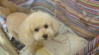 """みんな 可愛い~  写真はkさま  てんちゃん、ここちゃん、えいとちゃん!! たいへん おりこうさん  ただ今、小型犬の基本美容料金は4300円~  (税別)です。大好評!大型犬  スタンダードプ... <a href=""""https://fukuyamadog.com/?p=2808"""">続きを読む</a>"""